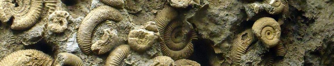 small ammonites rock