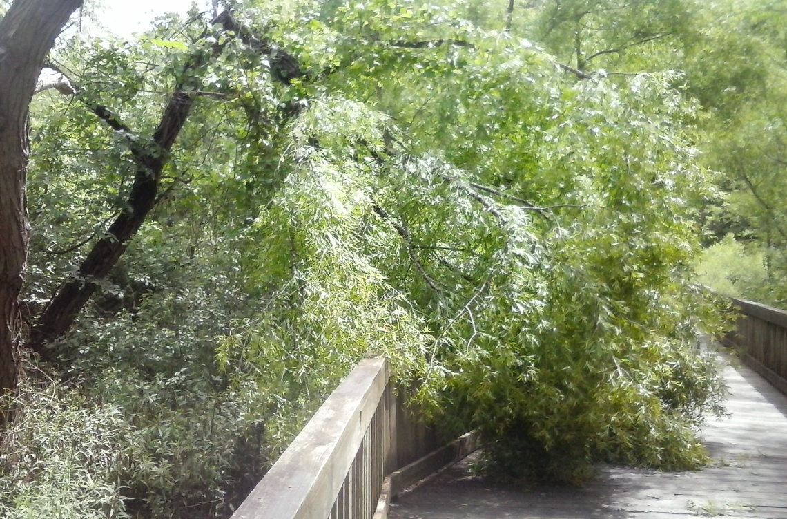 broken black willow may 12 2017