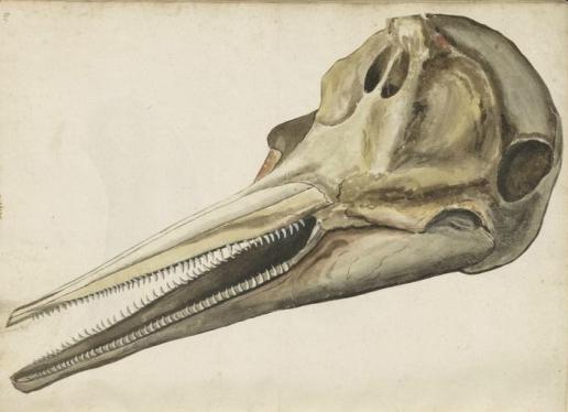 dolphin skull crop1