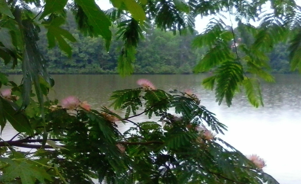mimosa edit1