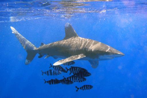 799px-oceanic_whitetip_shark.png