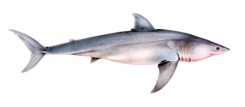 Carcharodon_carcharias_drawing