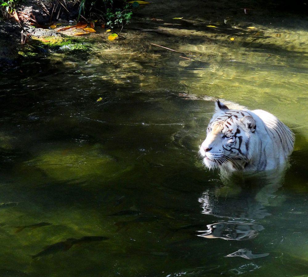 1137px-White_Tiger_in_the_wet by bjorn christian torrissen