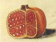 445px-Gc7_Punica_granatum_fruits