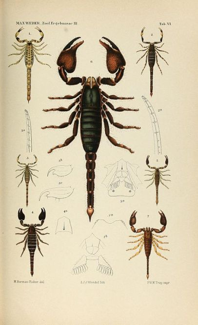 R. I. Pocock (1894) Scorpions of the Malay Archipelago