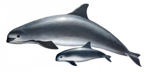vaquita Aquarium of the Pacific